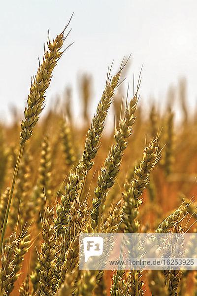 Nahaufnahme von reifenden Weizenköpfen; Alberta  Kanada