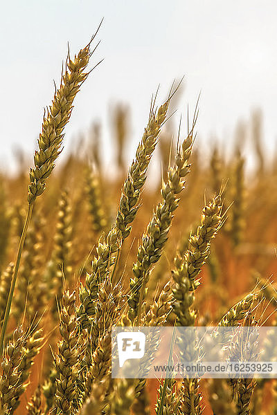 Close-up of ripening wheat heads; Alberta  Canada