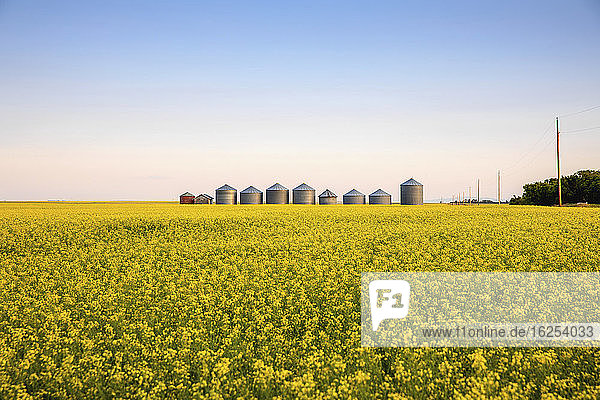 Metal silos in a row on a ripening canola field at sunrise; Alberta  Canada