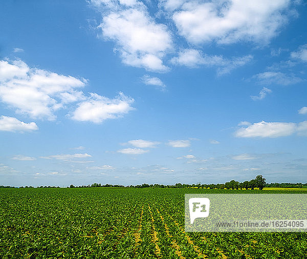 Co Tipperary Ireland; Sugar Beet Crop