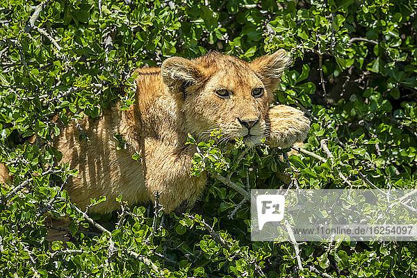 Löwenjunges (Panthera leo) liegt in einem Busch zwischen den Blättern im Sonnenschein; Tansania