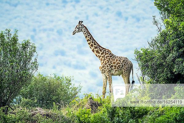 Masai-Giraffe (Giraffa camelopardalis tippelskirchii) zwischen Büschen stehend; Kenia