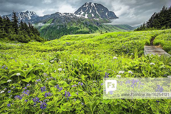 Wildblumenwiese entlang des Lost Lake Trail  im Hintergrund die Gipfel der Auferstehung. Chugach National Forest  Kenai-Halbinsel  Süd-Zentral-Alaska im Sommer; Seward  Alaska  Vereinigte Staaten von Amerika