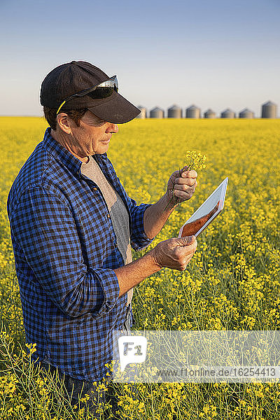 Farmer standing in a canola field inspecting the yield; Alberta  Canada