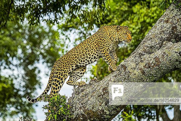 Afrikanischer Leopard (Panthera pardus)  der auf einen Ast steigt und nach vorne schaut; Kenia