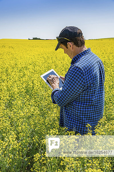 Farmer standing in a canola field using a tablet and inspecting the yield; Alberta  Canada