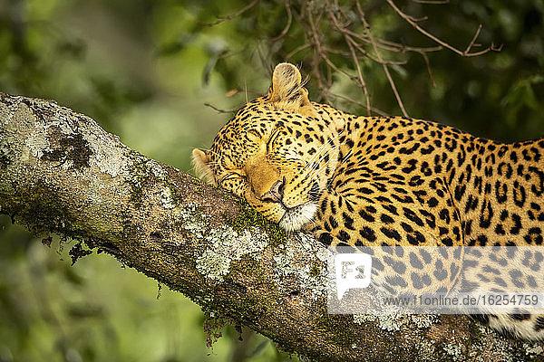 Nahaufnahme eines auf einem Ast liegenden Leoparden (Panthera pardus)  der schläft; Kenia