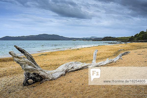 Treibholz auf dem goldenen Sand am Wasser an einem Strand entlang der Küste der Nordinsel Neuseelands; Kaeo  Northland Region  Nordinsel  Neuseeland