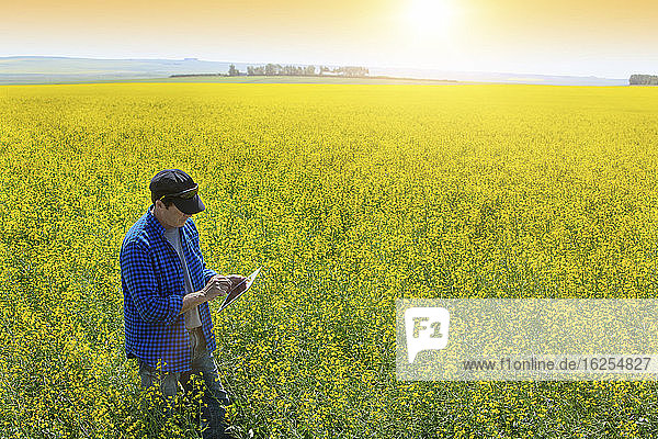 Farmer standing in a canola field using a tablet and inspecting the yield at sunrise; Alberta  Canada