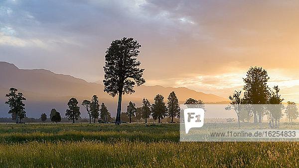 Große Bäume auf einem grasbewachsenen Feld mit Bergen im Hintergrund  entlang des Lake Matheson Walk in der Nähe der Gemeinde Fox Glacier  berühmt für seine spiegelnden Ansichten von Aoraki  Mount Cook und Mount Tasman; Südwestland  Südinsel  Neuseeland