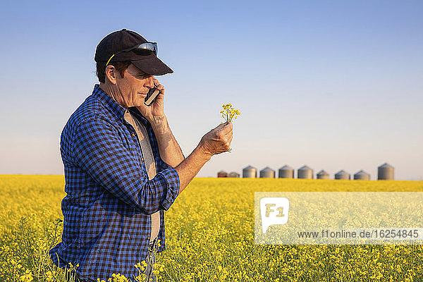 Landwirt steht mit einem Smartphone auf einem Rapsfeld und inspiziert den Ertrag; Alberta  Kanada