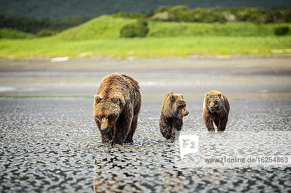 Bär (Ursus arctos) bei der Besichtigung des Hallo-Bay-Camps. Eine Sau und ihre beiden Jungen jagen nach Muscheln  während sie auf die Ankunft von Lachsen in den örtlichen Bächen warten; Alaska  Vereinigte Staaten von Amerika