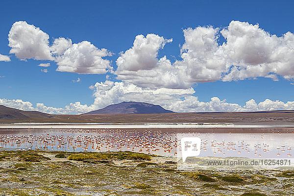 Flamingos an der Laguna Colorada  Eduardo-Avaroa-Nationalpark; Abteilung Potosi  Bolivien