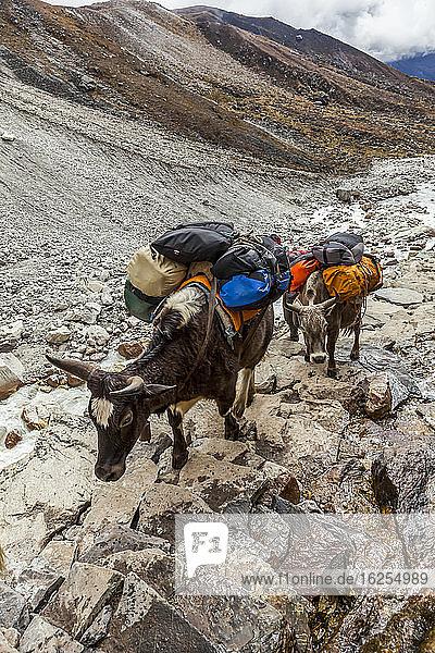 Yak (Bos grunniens) oder dzo  der an einem sonnigen Herbsttag im Solokhumbu-Distrikt  Sagarmatha-Nationalpark  Nepal  an einem sonnigen Herbsttag im Solokhumbu-Distrikt  Sagarmatha-Nationalpark  Nepal  die Rucksäcke von Touristen und andere Waren auf dem Gokyo-Trekkingpfad entlang des rauschenden Dudh Koshi-Flusses packt