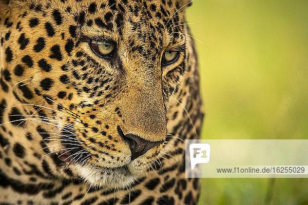 Nahaufnahme des Leopardengesichts mit grünen Augen  die nach unten und rechts blicken; Kenia