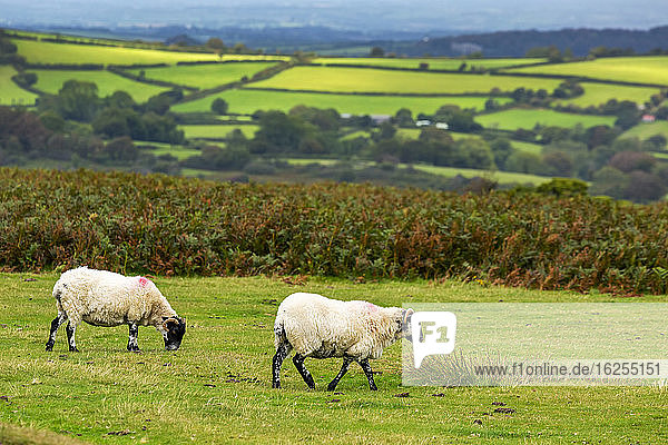 A green meadow with sheep bordered by trees and a patchwork of hilly green meadows in the background; Cornwall County  England