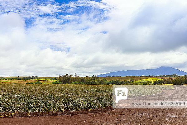 Ananasernte; Oahu  Hawaii  Vereinigte Staaten von Amerika