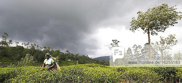 Teepflücker in einer Teeplantage