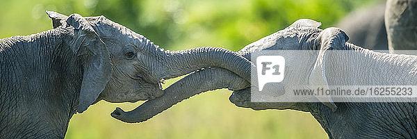 Nahaufnahme-Panorama von zwei jungen Elefanten (Loxodonta africana)  die mit ihren Rüsseln kämpfen; Kenia