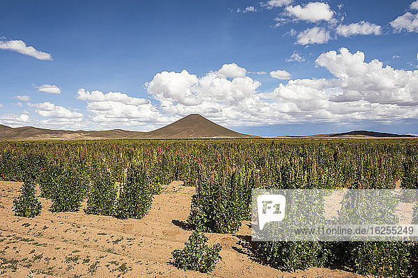Plantage Quinoa; Provinz Nor Lipez  Abteilung Potosi  Bolivien