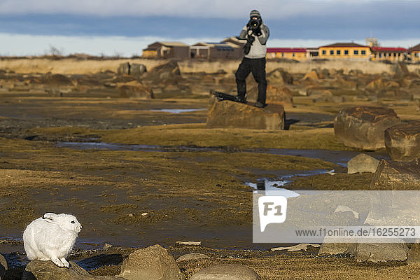 Person photographing an Arctic Hare (Lepus arcticus) on the tidal flats of Hudson Bay; Churchill  Manitoba  Canada