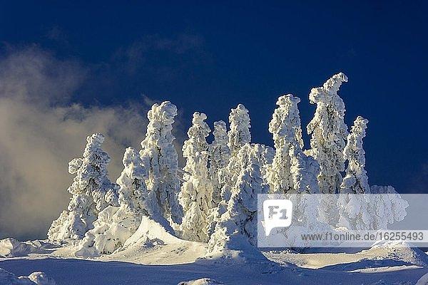 Verschneite Fichten (Picea) auf dem Brocken  Harz  Schierke  Sachsen-Anhalt  Deutschland  Europa