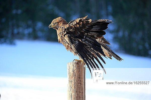 Steinadler (Aquila chrysaetos)  adult  auf Warte  spreitzt Flügel  im Winter  Schnee  Böhmerwald  Tschechien  Europa