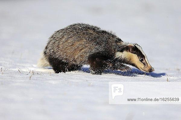 Europäischer Dachs (Meles meles)  adult  im Winter  im Schnee  Nahrungssuche  laufend  Böhmerwald  Tschechien  Europa