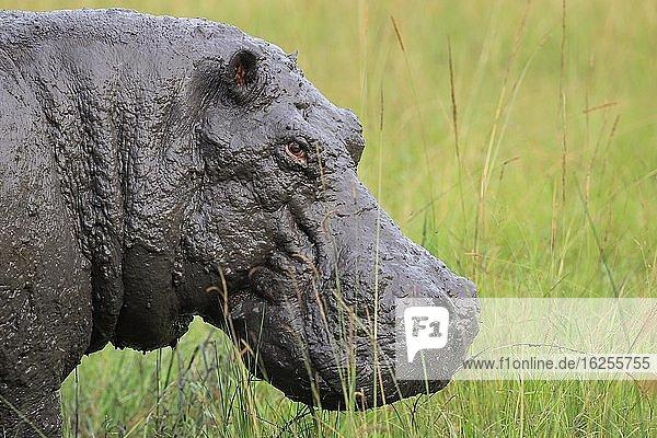 Nilpferd (Hippopotamus amphibius)  Tierportrait  Queen Elisabeth National Park  Uganda  Afrika