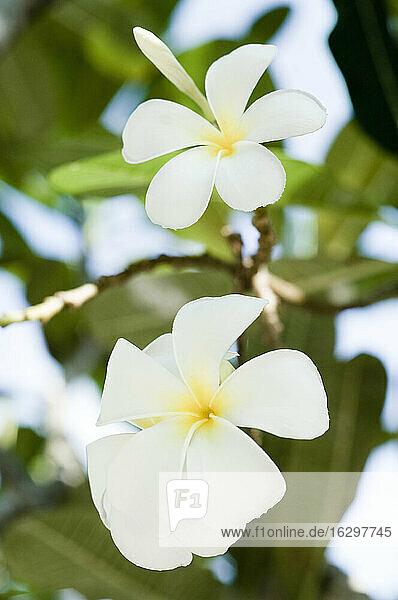 Thailand  Koh Lipe  Blossom of Plumeria alba