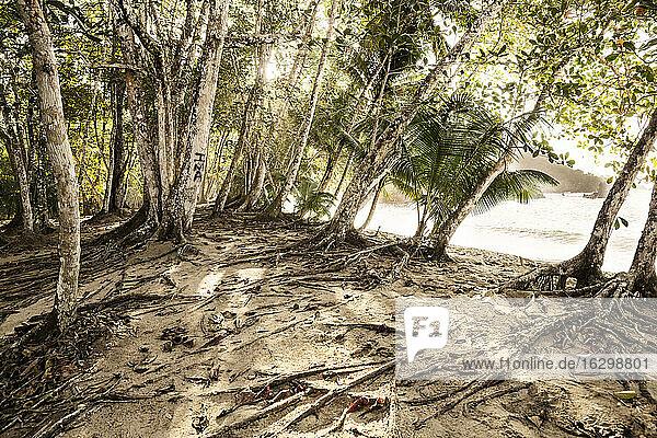 Caribbean  Antilles  Lesser Antilles  Trinidad and Tobago  Tobago  Englishman's Bay  Trees on the beach