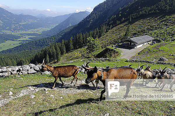 Germany  Bavaria  Mangfallgebirge  Goats at the Geitauer Alm