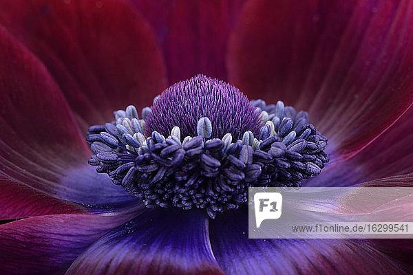 Detail of purple anemone