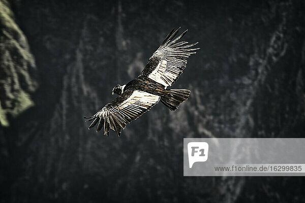 South America  Peru  Colca Canyon  Andean Condor (Vultur Gryphus) flying