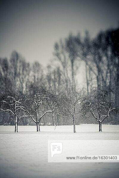 Germany  Baden Wuerttemberg  Vaihingen  snow-covered trees