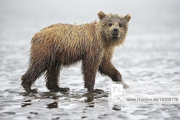 USA  Alaska  Lake Clark National Park and Preserve  Brown bear cub (Ursus arctos)