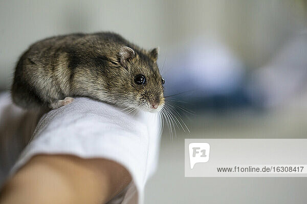 Cute hamster on human arm