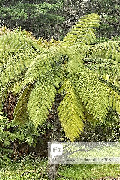 New Zealand  Chatham Island  Tree ferns
