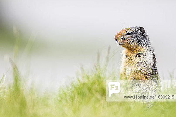 Canada  Alberta  Rocky Mountains  Jasper National Park  Banff Nationalpark  Columbian ground squirrel (Urocitellus columbianus) standing on a meadow