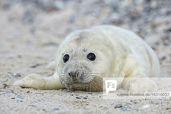Germany  Helgoland  Duene Island  Grey seal pup (Halichoerus grypus) lying at shingle beach