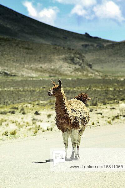 Peru  Andes  free-ranging llama (Lama glama) standing on country road