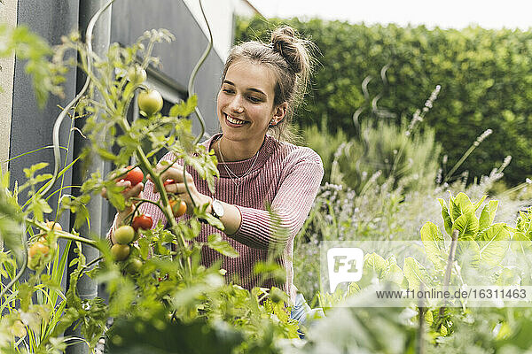 Smiling woman picking cherry tomatoes in community garden