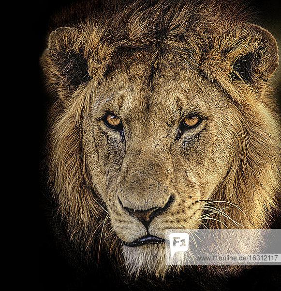Afrika  Tansania  Leiter des männlichen Afrikanischen Löwen (Panthera leo)