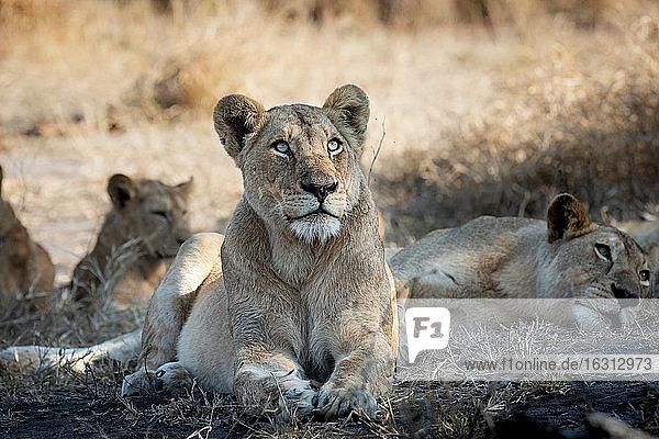 Eine Löwin  Panthera leo  legt sich hin und blickt nach oben.