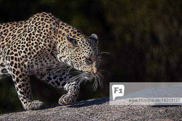 Ein Leopard  Panthera pardus  läuft über einen Felsbrocken  Seitenprofil  Ohren nach hinten.
