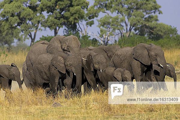 Herde afrikanischer Elefanten  Loxodonta africana  Moremi-Reservat  Botswana  Afrika.