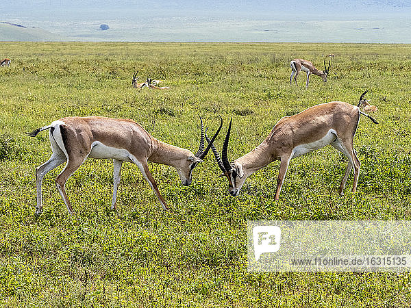 Adult male Grant's gazelles (Nanger granti) sparring inside Ngorongoro Crater  UNESCO World Heritage Site  Tanzania  East Africa  Africa