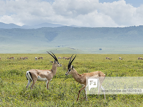 Adult male Grant's gazelles (Nanger granti)  inside Ngorongoro Crater  UNESCO World Heritage Site  Tanzania  East Africa  Africa