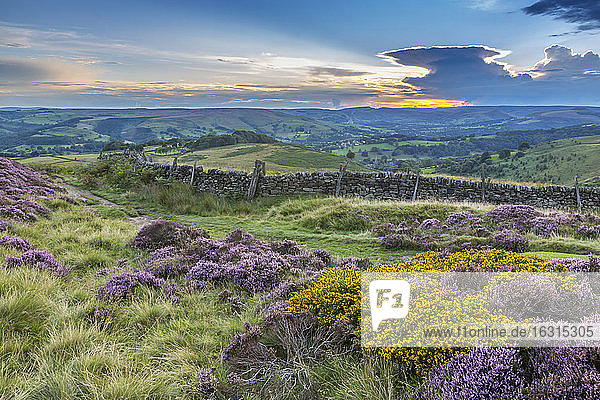 View of flowering heather on Stanage Edge and Hope Valley at sunset  Hathersage  Peak District National Park  Derbyshire  England  United Kingdom  Europe