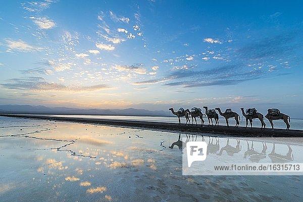 Mit Steinsalzplatten beladene Kamele laufen bei Sonnenuntergang durch einen Salzsee  Salzwüste  Danakil-Depression  Äthiopien  Afrika